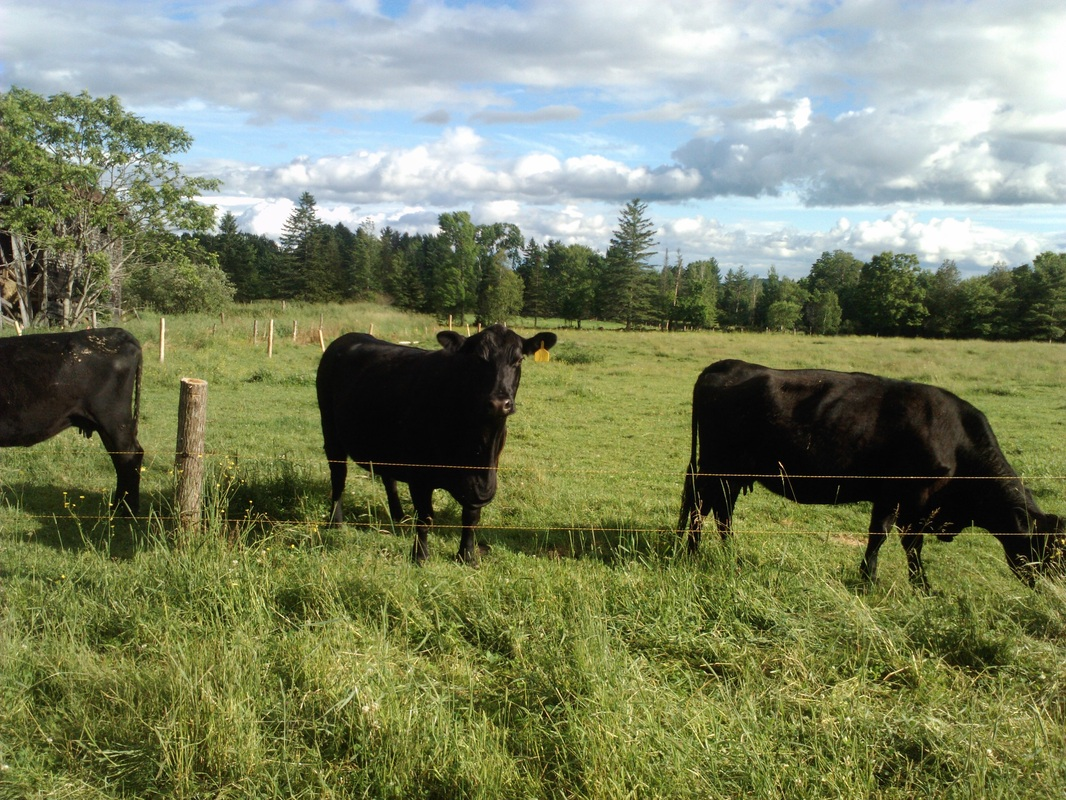 angus cattle information Cattle breeds - brangus brangus history the brangus breed was developed to utilise the superior traits of angus and brahman cattle their genetics are stabilised at 3.